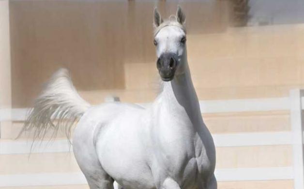 القبض على نصاب الخيول في معان