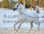 بطولة الإمارات لمربي الخيول العربية تنطلق غدا في العين بمشاركة 336 خيلا وجوائزها 4 ملايين درهم