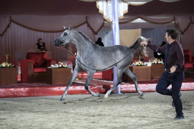 نتائج اليوم الأول لبطولة الإمارات لمربي الخيول العربية 2021 تظهر تفوق خيول «عجمان» و«دبي»