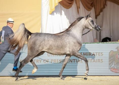 نتائج اليوم الثاني لبطولة الإمارات لمربي الخيول العربية 2021 و «الأريام» يواصل توهجه