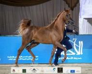 النتائج النهائية بالصور لبطولة الإمارات لمربي الخيول العربية 2021