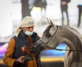 ثلاثية ذهبية وفضيتان لـ «دبي» في بطولة الإمارات 2021 لمربي الخيول العربية