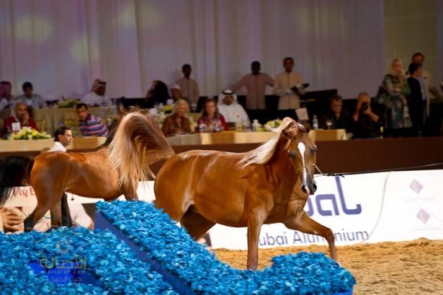 صور من اليوم الأول بطولة دبي الدولية للخيل العربية الأصيلة ٢٠١٢