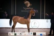 النتائج النهائية بالصور لبطولة المملكة لجمال الخيل العربية (كحيلة) 2021