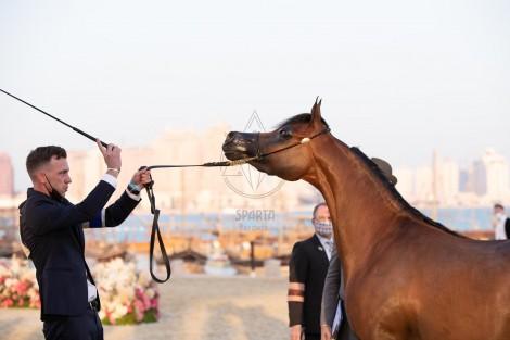 صور مقتطفة من اليوم الأول والثاني من بطولة كتارا الدولية 2021 لجمال الخيل العربية