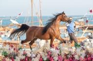 اليوم السبت يختتم مهرجان كتارا الدولي 2021 لجمال الخيل العربية الأصيلة بالبطولات النهائية