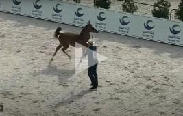 شاهد البث المباشر لبطولـة أبو ظبي الدولية لجمال الخيول العربية 2021 – اليوم الثاني