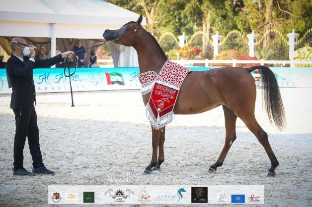 صور مقتطفة من اليوم الختامي لبطولة ابوظبي الدولية 2021 للخيل العربية
