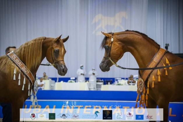 صور مقتطفة من اليوم الختامي من بطولة دبي ٢٠٢١ الدولية للجواد العربي