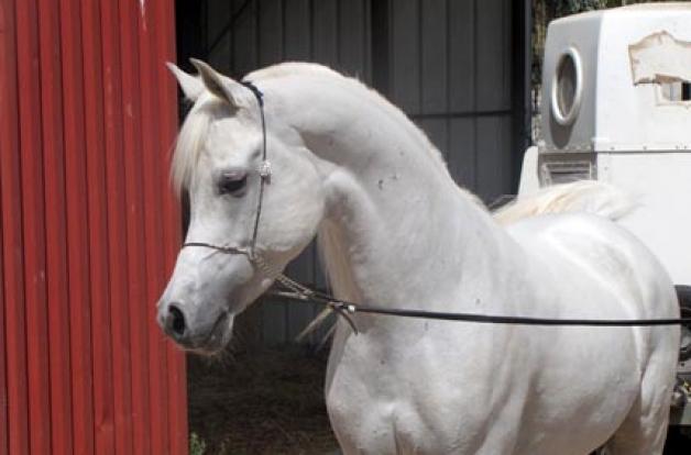 خيول عين الجمال بأم الفحم تحرز مراتب متقدمة باريحا لجمال الخيول العربية