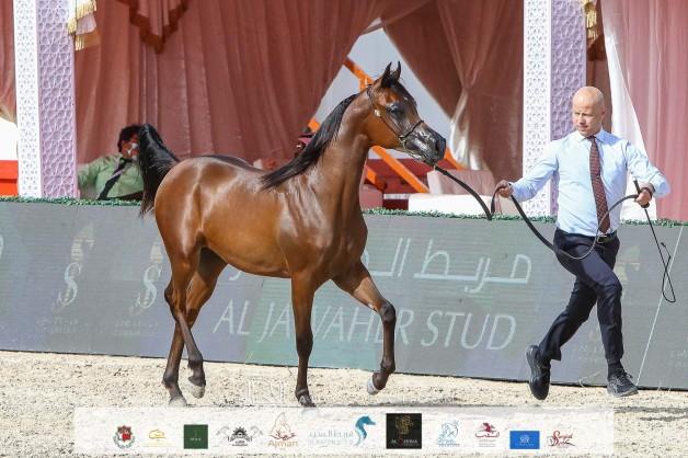 منافسات مثيرة في افتتاج بطولة الظفرة 2021 لجمال الخيل العربية