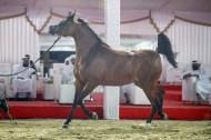 نتائج اليوم الثاني لبطولة الظفرة 2021 للخيول العربية