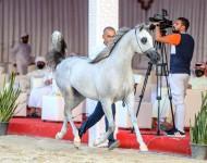 نتائج اليوم الرابع لبطولة الظفرة لجمال الخيول العربية