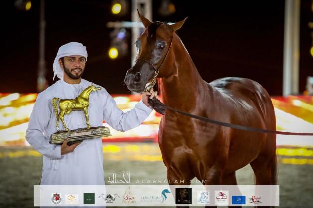 """خيول """"بن هميلة"""" تستحوذ على ذهبيتين وفضيتين في بطولة الظفرة لجمال الخيل العربية"""