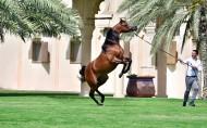 """مربط دبي للخيول العربية.. موسم ذهبي و شبوتين من """"الرشيم"""" للملاك في الظفرة"""