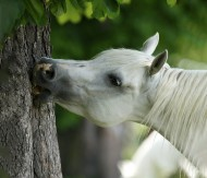 لماذا تأكل الخيول الأشجار، وماذا عليك أن تفعل ؟