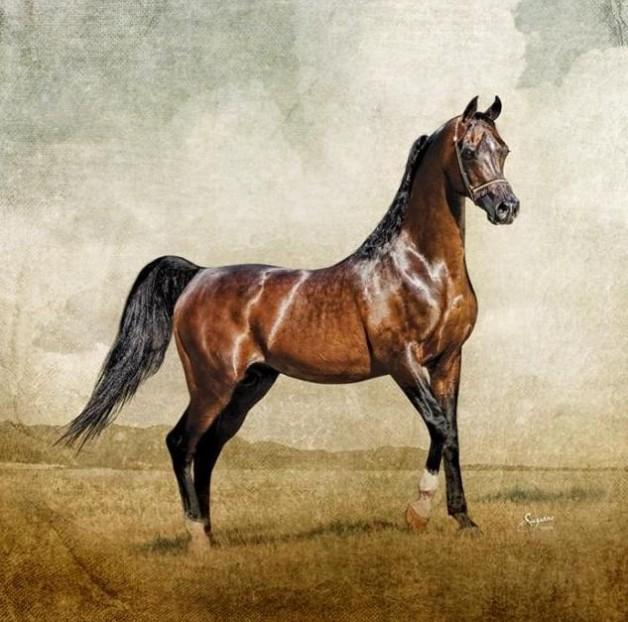 ذا ديسبرادوالحصان الأسطورة الظاهرة النادرة