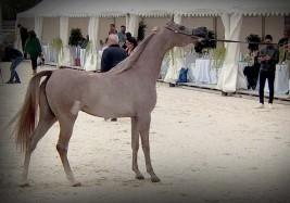 النتائج النهائية لبطولة براغ الدولية لجمال الخيول العربية 2021