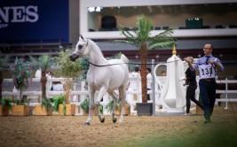النتائج النهائية لمنافسات كأس قطر الأول 2021 لمنتجي الخيل العربية