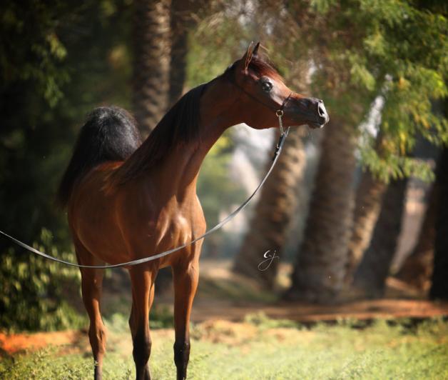الصفات العضوية الرئيسة للخيول العربية الأصيلة