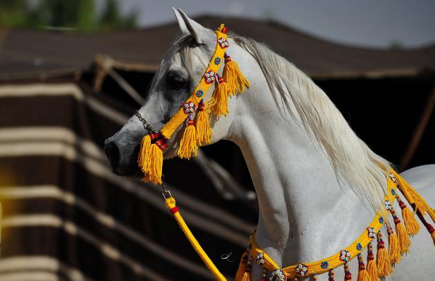 تربية الخيول العربية عبر التاريخ
