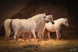 9 آلاف درهم كلفة إيواء الخيول العربية الأصيلة في الإمارات