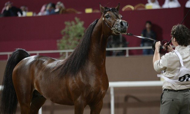 التسجيل ببطولة قطر الدولية الـ ٢٢ لجمال الخيل العربية الأصيلة