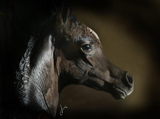 بدء التسجيل ببطولة بوذيب لمربي الخيول العربية الأصيلة ٢٠١٣
