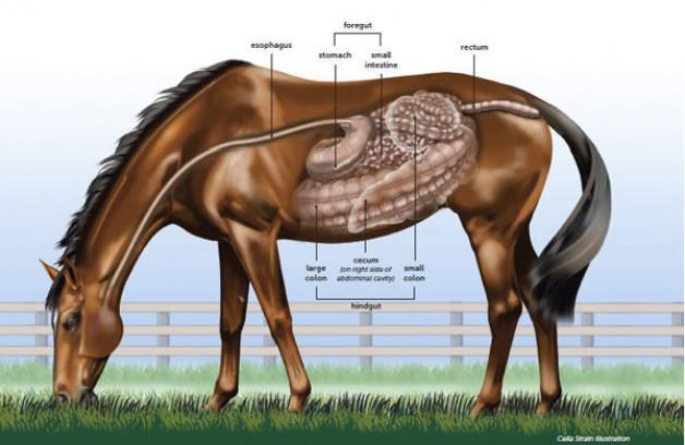 المغص المرض الأكثر خطورة على أرواح الخيول (الجزء الأول)