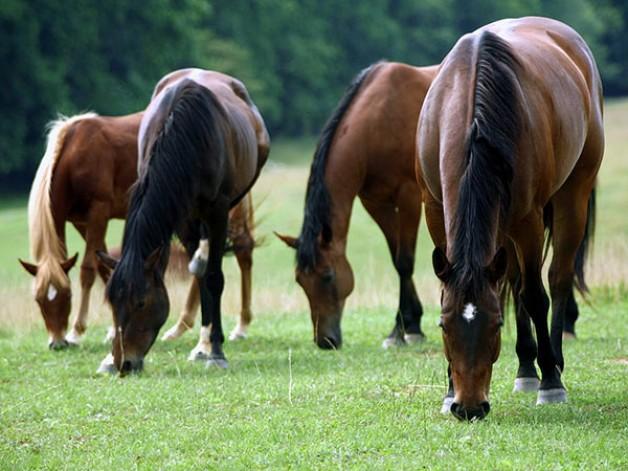 النظام الغذائي للخيول