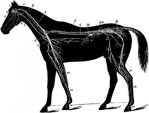 إلتهاب الدماغ والنخاع الشوكي الفيروسي في الخيول