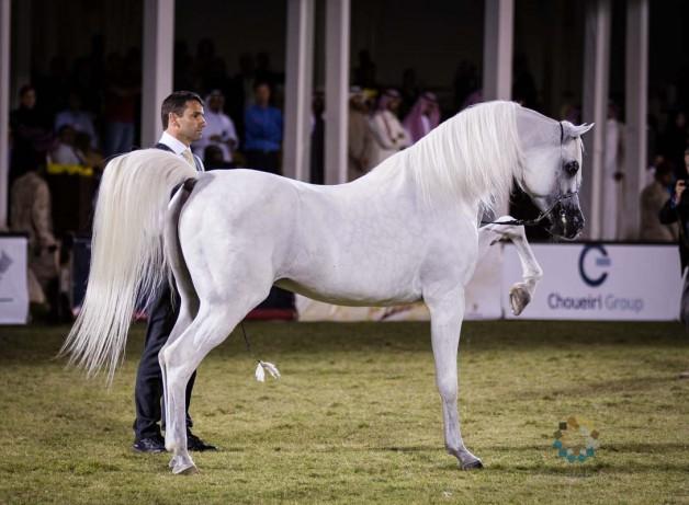 صور من بطولة الأمير سلطان العالمية للجواد العربي بعدسة الأصالة