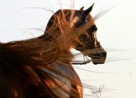 الخيل العربية من أذكى الخيول على الإطلاق ومن أطباعها الذاكرة وسعة الصدر والوفاء