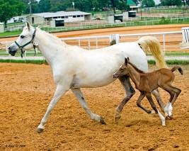 التكاثر وطرق تلقيح الخيول