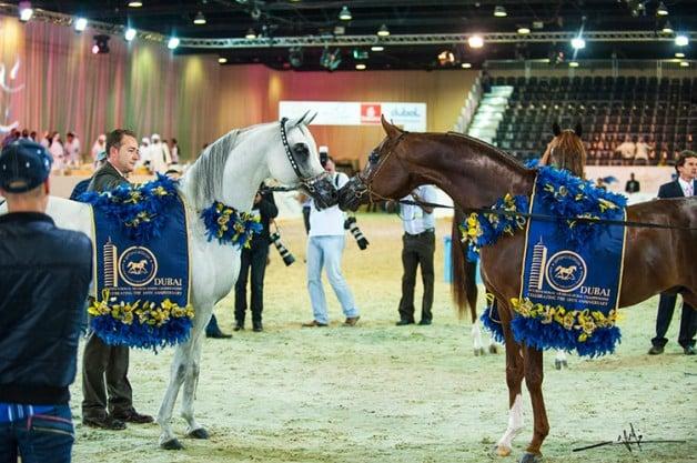 AED 15 million prizes in the12th Dubai International Arabian Horse Championship