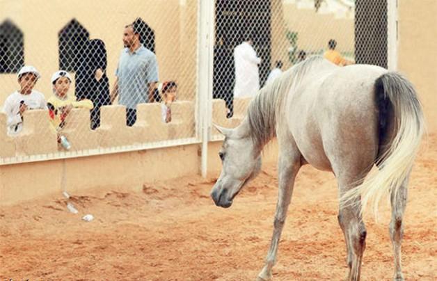 مشاركة مركز الملك عبدالعزيز تلفت أنظار زوار الجنادرية بجمال الخيول العربية الأصيلة