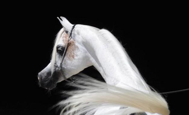 رأس الحصان العربي تاج محاسنه