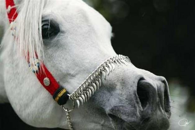 الخدمات البيطرية المصرية: ننتظر الاتحاد الأوروبى رفع حظر تصدير الخيول عن مصر