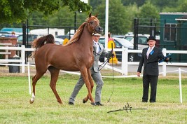 Britain's Gold Medal Goes to Al-Muawd Stud and Al-Inaya Stud Grabs Mare Silver Medal